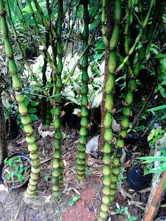 harga bambu nagin