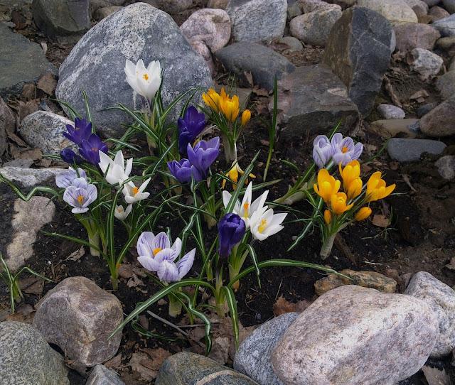 krookus, kevät