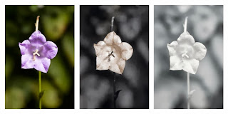Comparison of the flower of Campanula persicifolia 'Telham Beauty' photographed in visible light (left), ultraviolet light (middle), and infrared light (right)