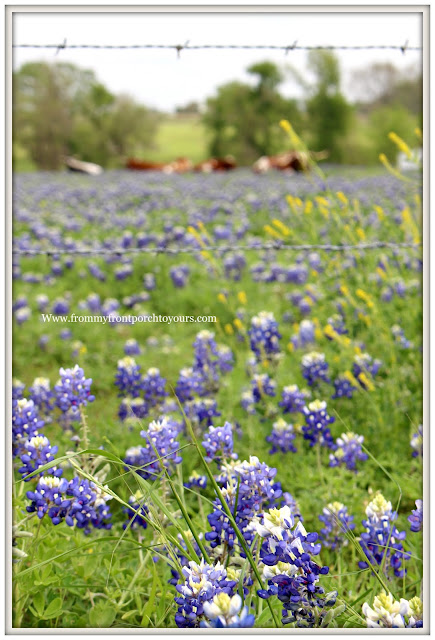 Texas Bluebonnets-Bluebonnet Filed-Wildflowers-Texas-Springtime-From My Front Porch To Yours