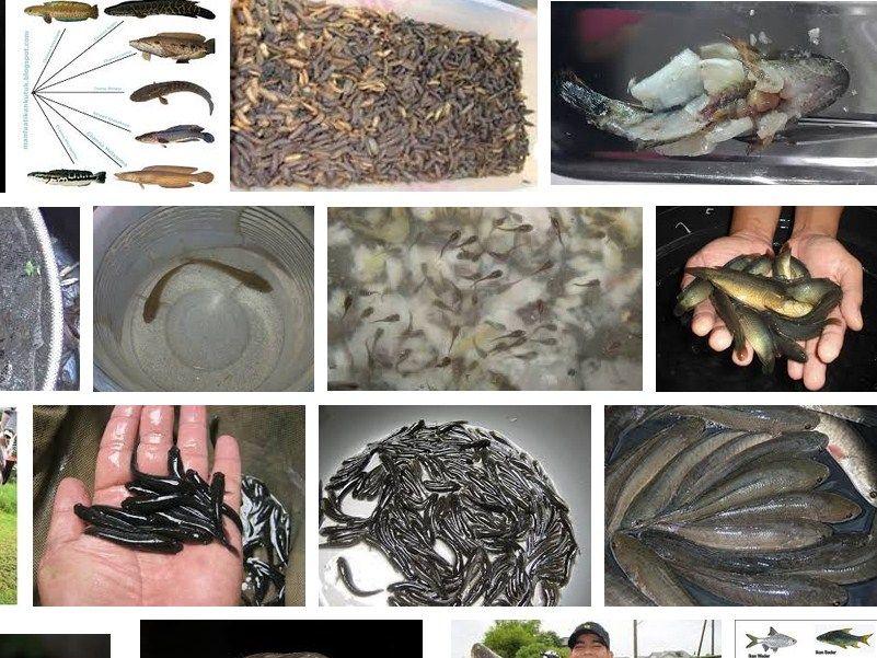 makanan ikan gabus ternak