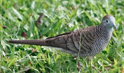 Proses Penjinakan Burung Perkutut Bahan Muda Hutan Yang Paling Akurat