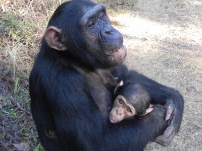 In their efforts to reject the Creator, some evolutionists want to attempt hybridizing humans and chimpanzees. There are serious problems with the entire process.