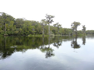 Sumpfbäume in Edward Ball Wakulla Springs State Park, Florida USA