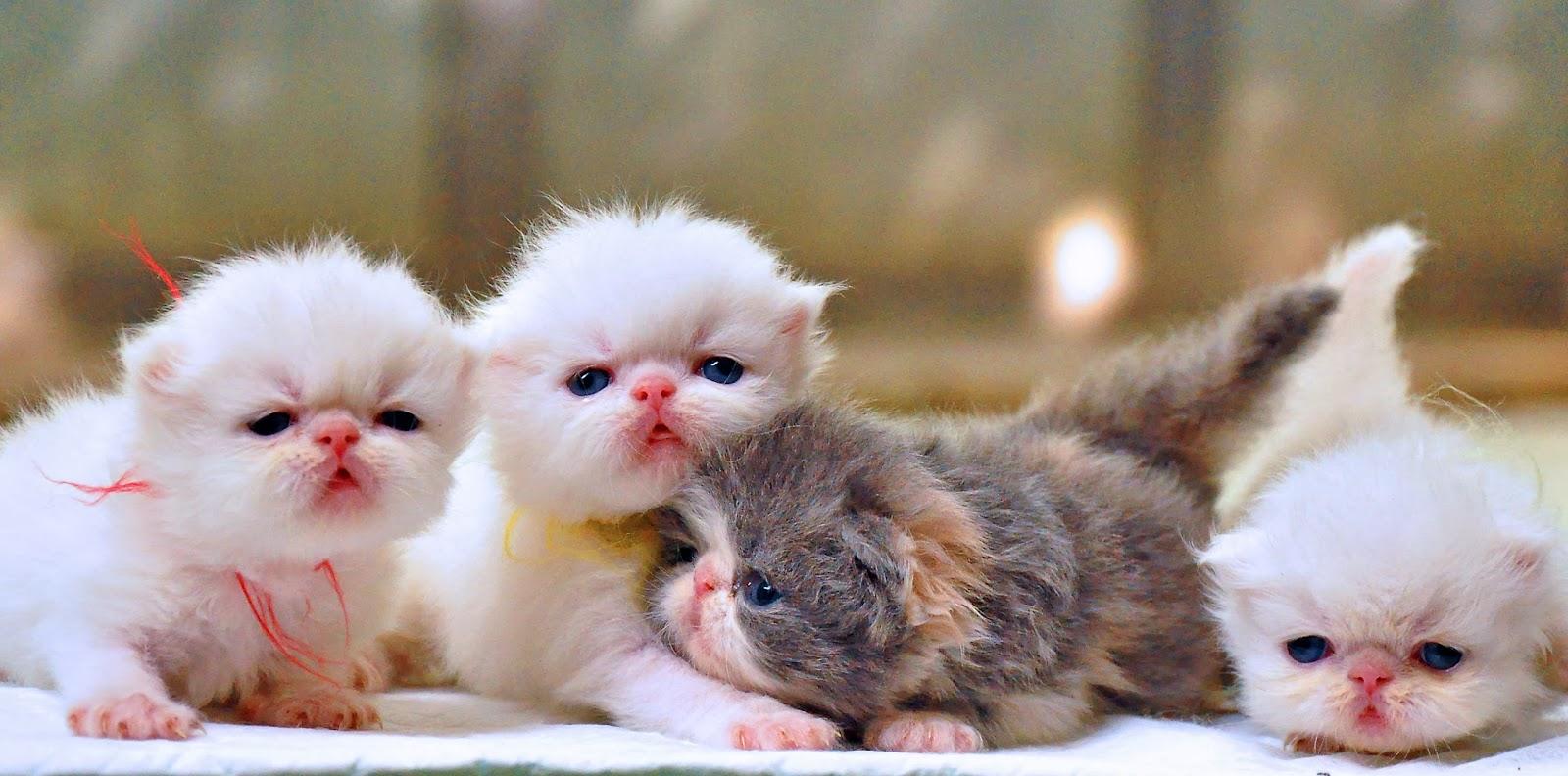 Cara Membersihkan Kucing Persia Anggora Grooming Info Kucing