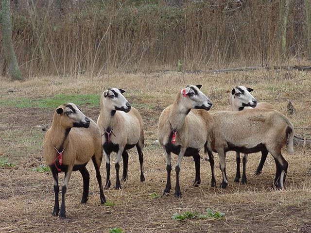 Blackbelly Barbados Dorper Cross Sheep – Air Media Design