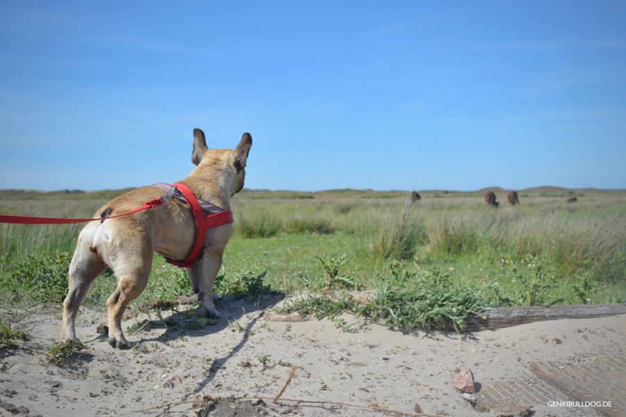 Urlaub mit Hund - Texel De Muy Galloway Rinder