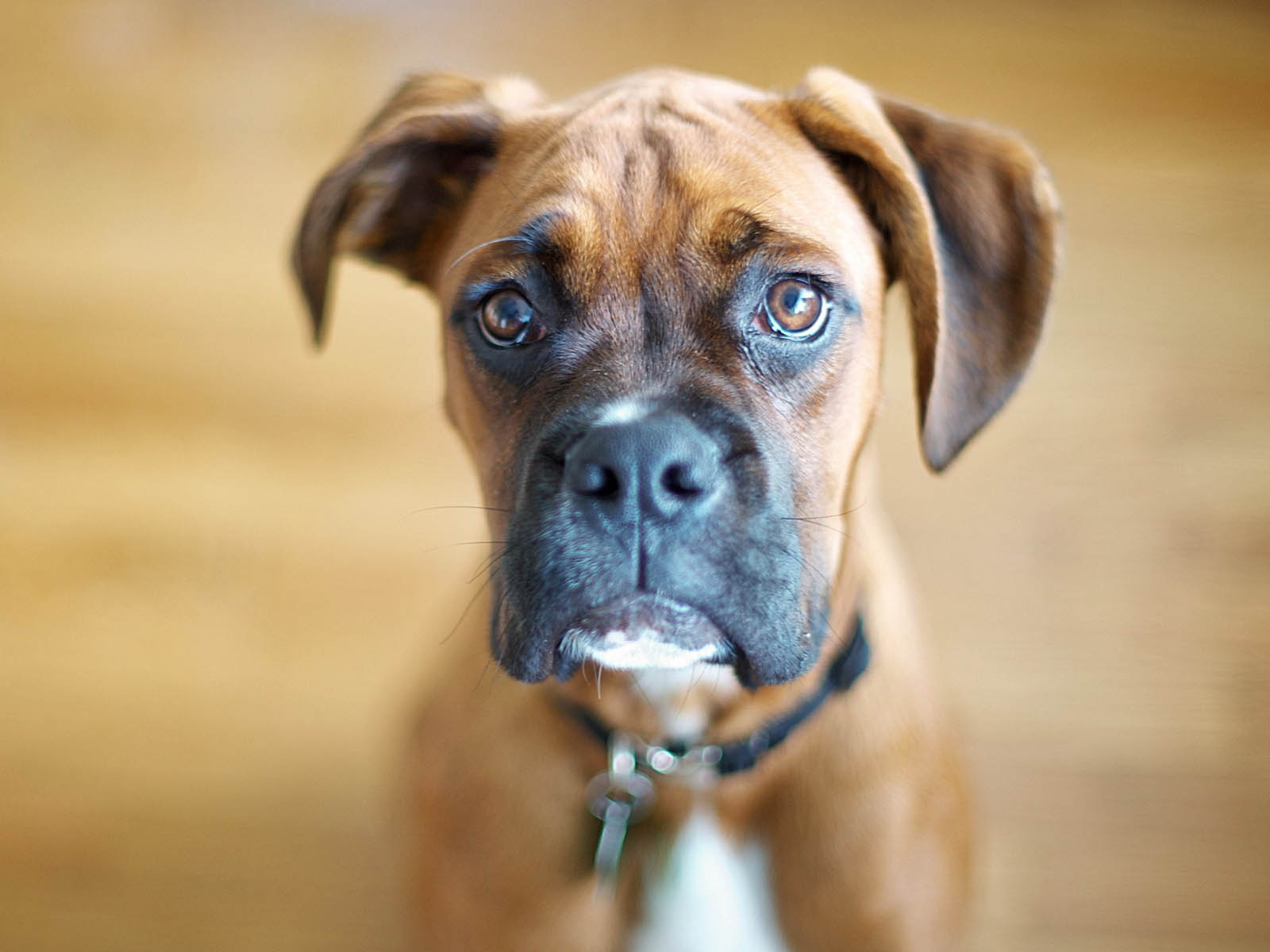 Cute Puppies Wallpaper Backgrounds Wallpapers Boxer Dog Wallpapers