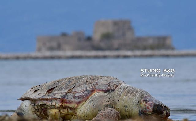 Και άλλη θαλάσσια χελώνα ξεβράστηκε νεκρή στο Ναύπλιο (βίντεο)
