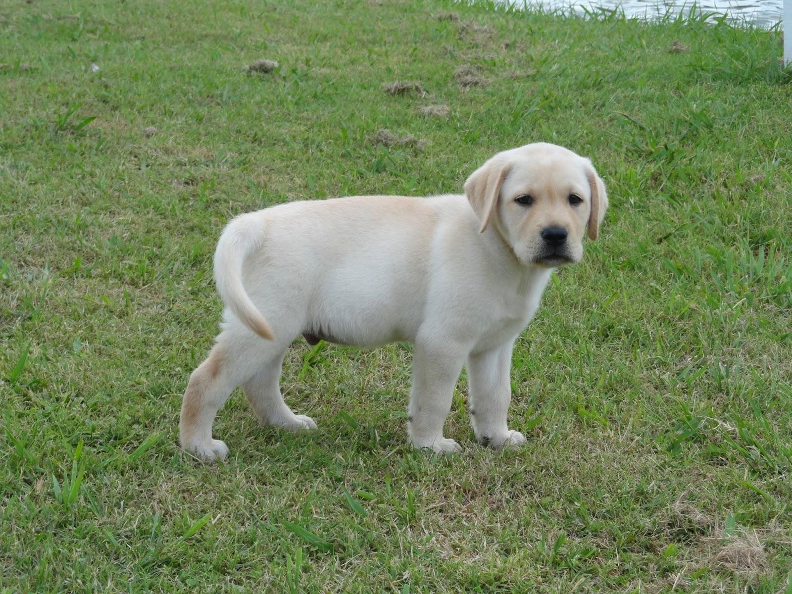 educar perros labradores