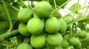 7 Manfaat pohon Jarak pagar buat pengobatan yang wajib diketahui