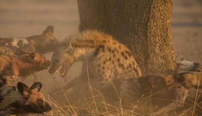 Foto-foto Luar Biasa Kelompok Anjing Liar Kejam Serang Hyena