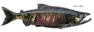 chum male - Jenis Jenis Ikan Salmon