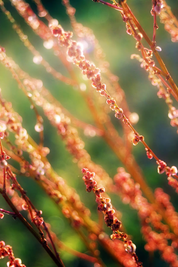 Sheep sorrel under the evening sunlight, kind of cool isn't it?
