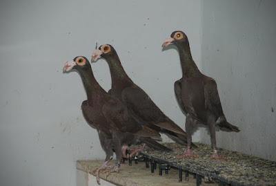 wattle pigeons - english