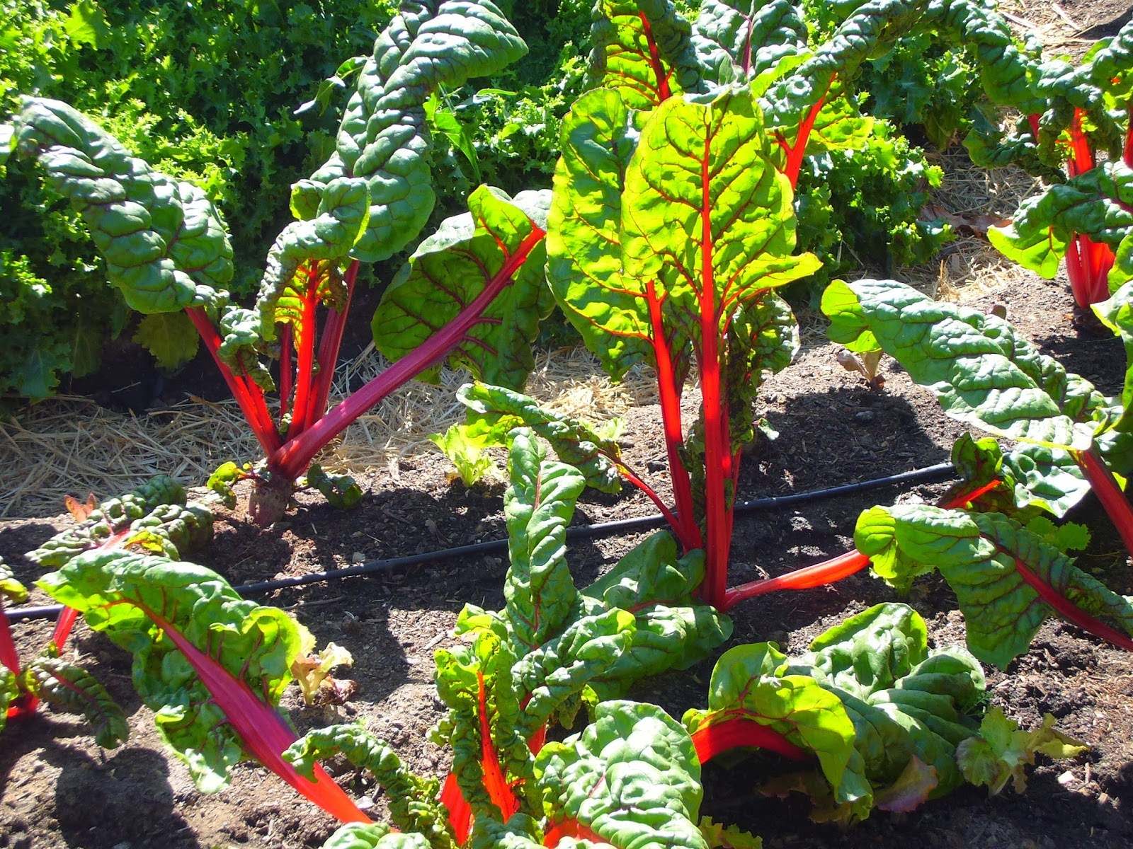 Field grown Swiss chard