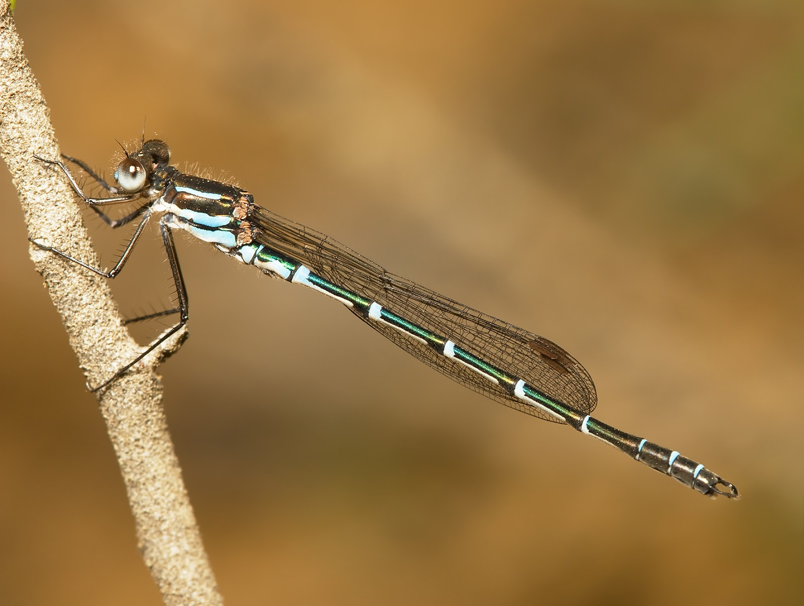 Insects: Austrolestes cingulatus male