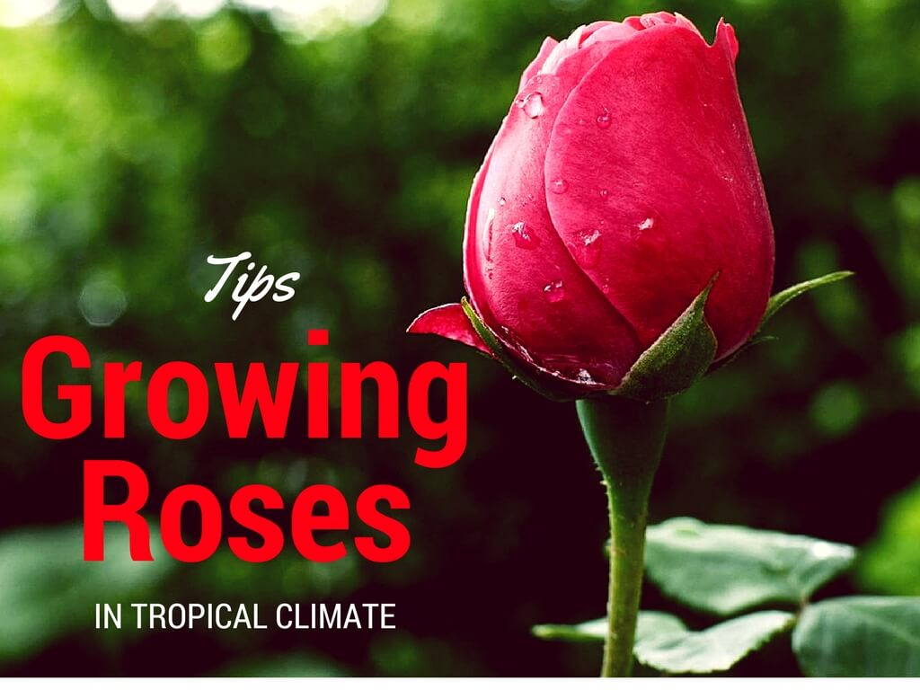 grow roses in tropical climate