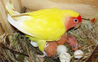 Penetasan Burung Lovebirds