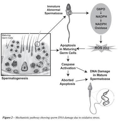 Immature Abnormal Spermatozooa