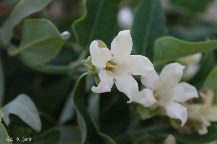 Identificando plantas silvestres: Araujia sericifera, una especie ...