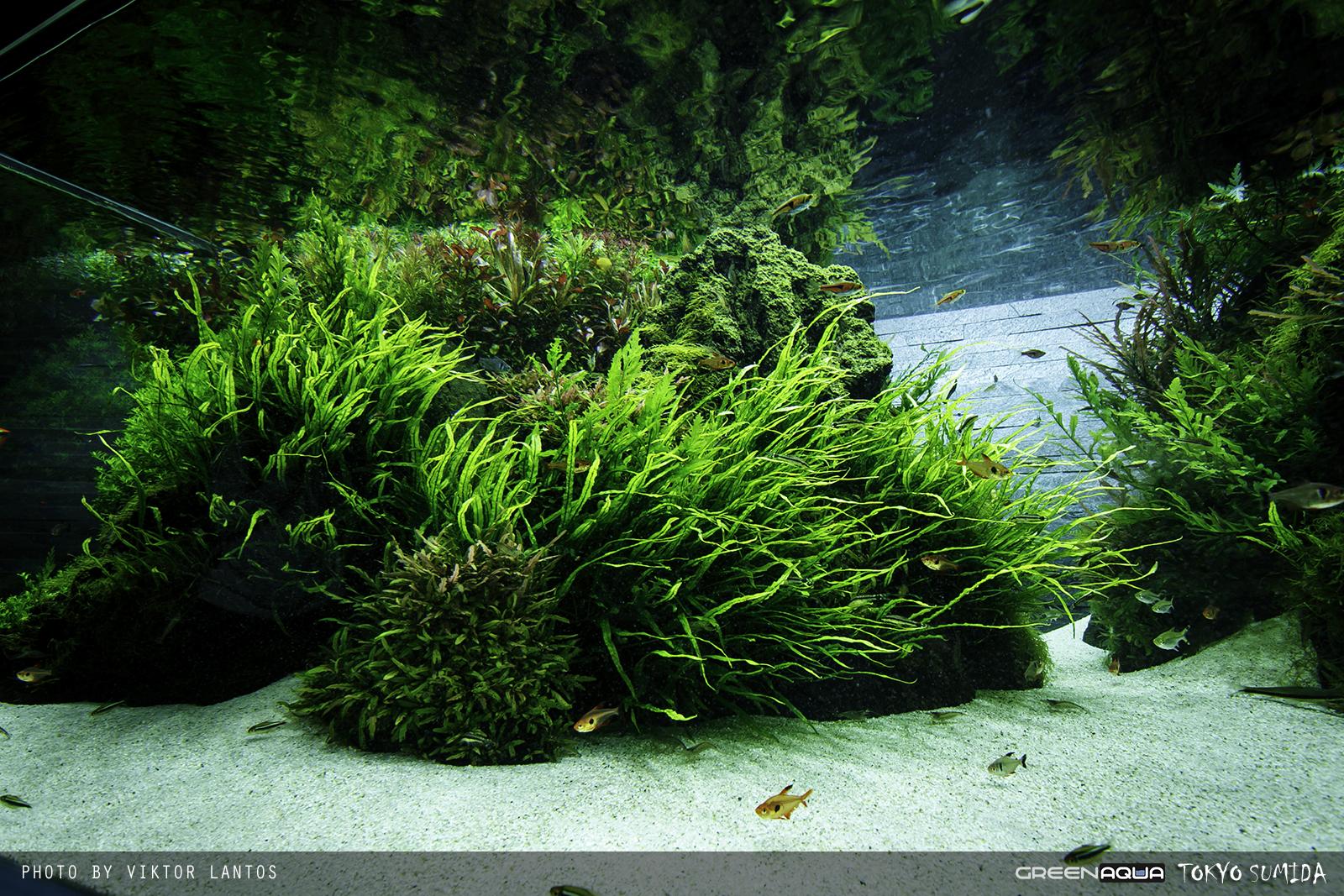 Dương xỉ lá kim trong một hồ thủy sinh phong cách Nature