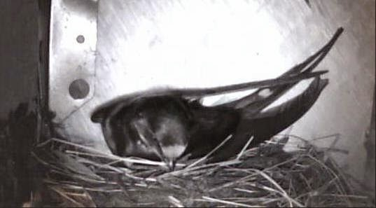 image: Swallow cam on the HenSafe Smallholding
