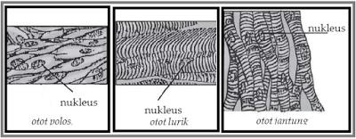 Jenis Jenis Otot Dan Karakteristiknya