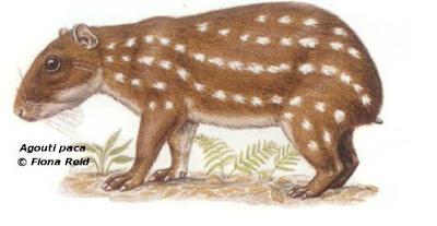 Paca Cuniculus paca