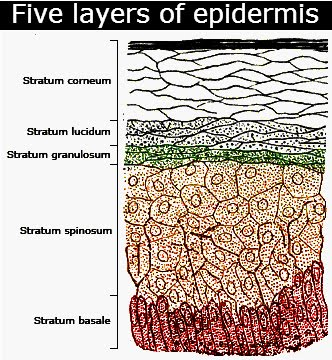 Lovely Parts Of Epidermis. Five Layers In Descending Order