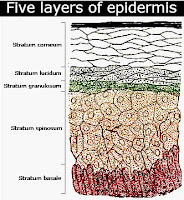 Five parts of epidermis layer in descending order