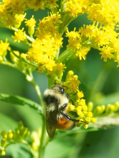 Tricolored Bumble Bee (Bombus ternarius)