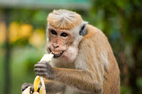 animal ape banana