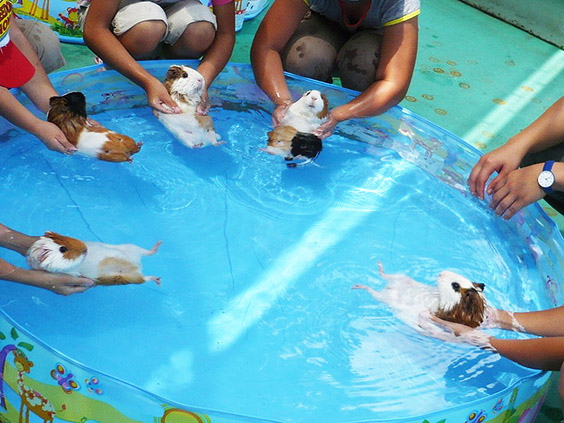 Foto met allemaal cavia's in het zwembad