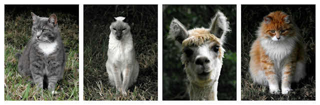 My three cats and...what is that? an alpaca!?! lol