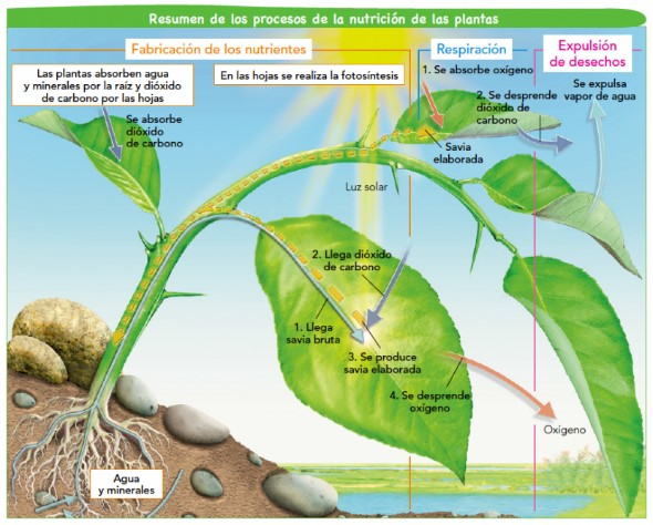 funcion de alimentacion de las plantas