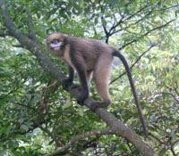 Grey snub nosed monkey