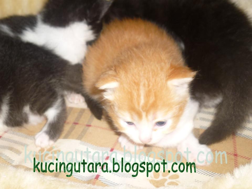 Nama Kucing Putih Betina 81021 Nama Untuk Kucing Comel Lucu Dan Unik