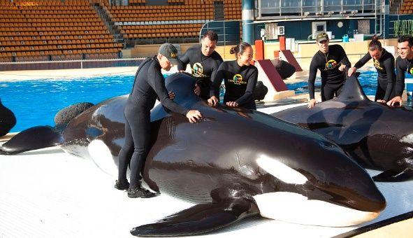 Confirman que las orcas son capaces de imitar la voz humana