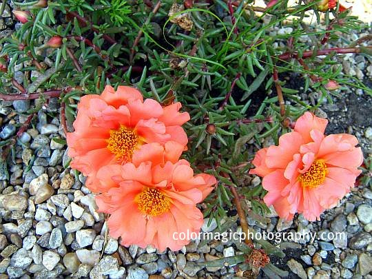 Beautiful moss-roses-salmon moss rose