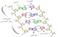 ما هو الحمض النووي DNA - (تعريف - تسمية - مكونات - وظيفة - شكل)