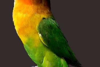 Download File Film Sablon Raster Burung Lovebird untuk Latihan by Gading Kaos