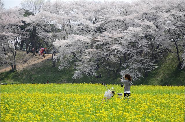Lễ hội hoa anh đào ở thành phố Gyeongju