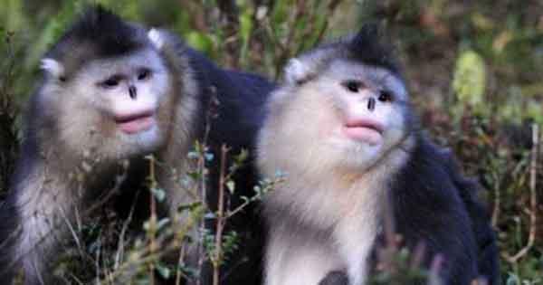 monyet bersin