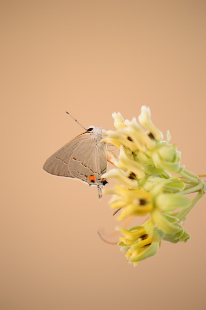 amy myers, photography, journal of a thousand things, butterfly, desert milkweed, asclepias,