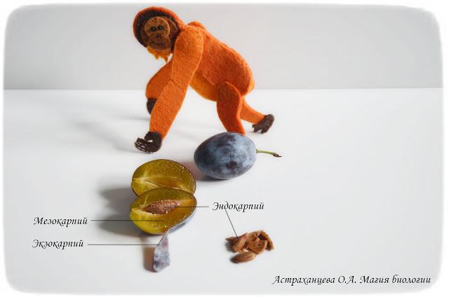 stroenie-ploda-okoloplodnik-jekzokarpij-mezokarpij-jendokarpij-kostjanka-sliva-orangutan