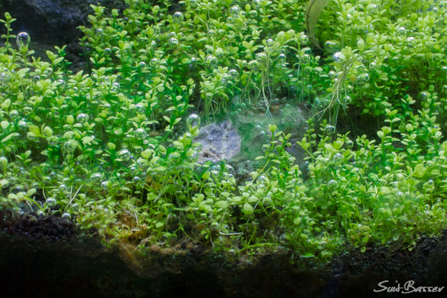 藍藻オキシドール