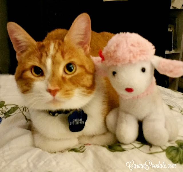 Daedae, orange tabby with stuffed pink poodle