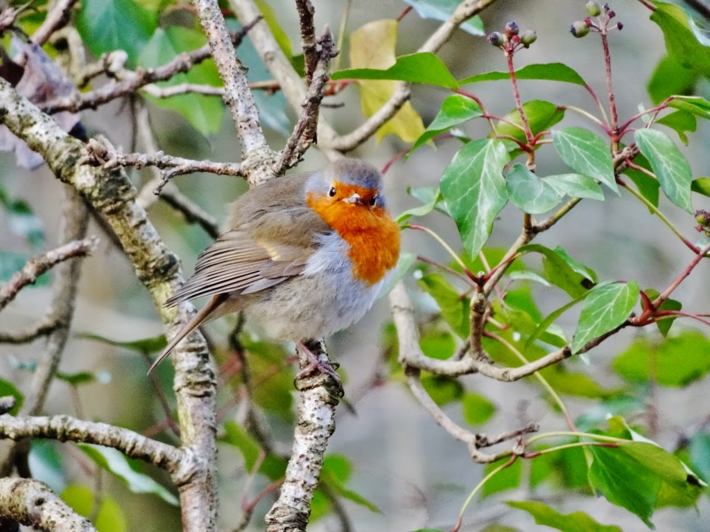 robin on bluestones nature trail