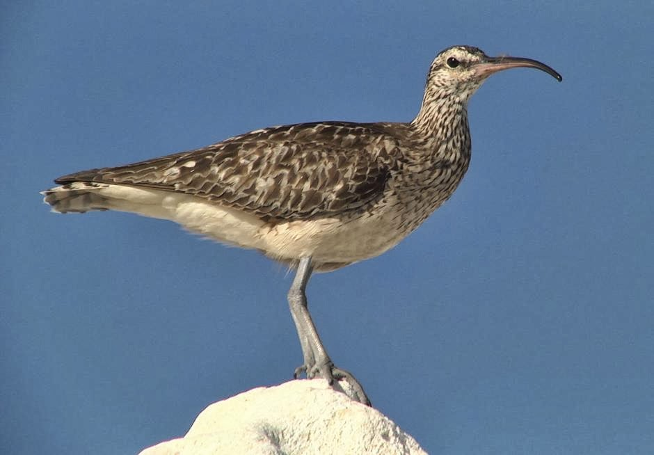 Bristled thighed curlew